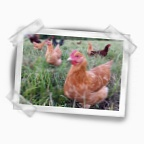 Buff Orpington hen